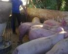 Análisis económico del engorde de cerdos