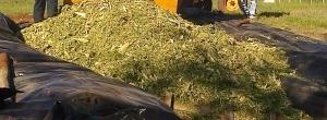 Producción de masa verde, ensilado de maíz